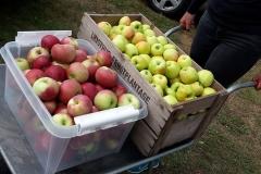 Der plukkes æbler
